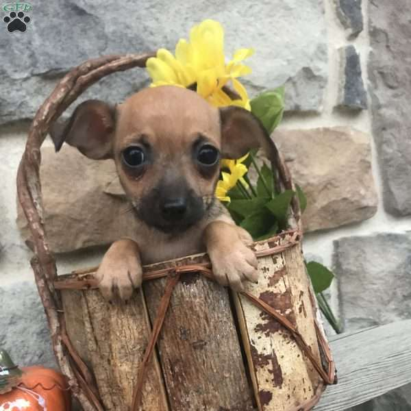 Rosy, Chihuahua Mix Puppy