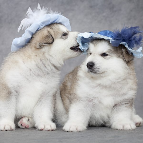 two alaskan malamute puppies in hats playing