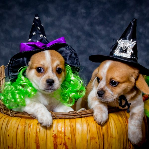 two beaglier puppies in a pumpkin wearing witch costumes