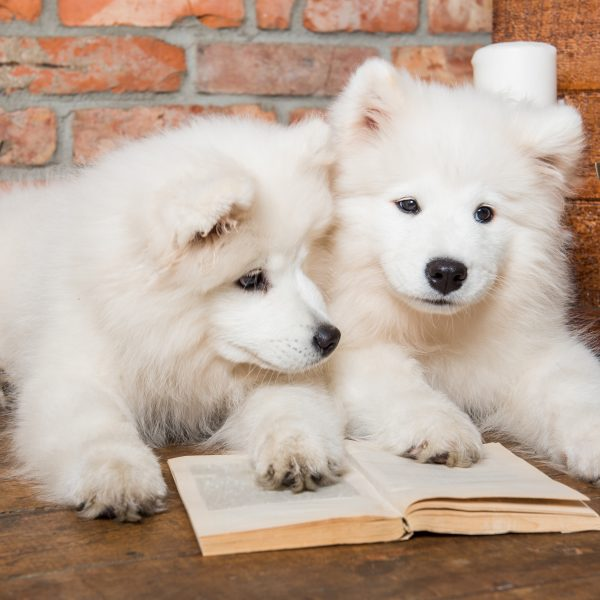 two samoyed puppies with some books