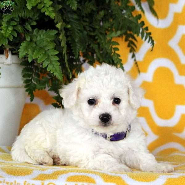 Autumn, Bichon Frise Puppy