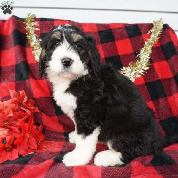 Baxter Bernedoodle Puppy For Sale In Ohio