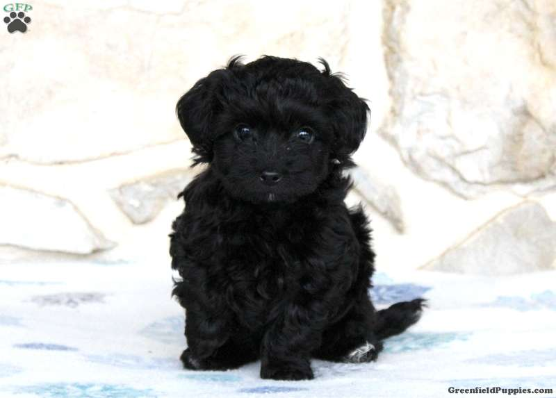 Yorkie Poo Puppies For Sale Yorkie Poo Breed Info