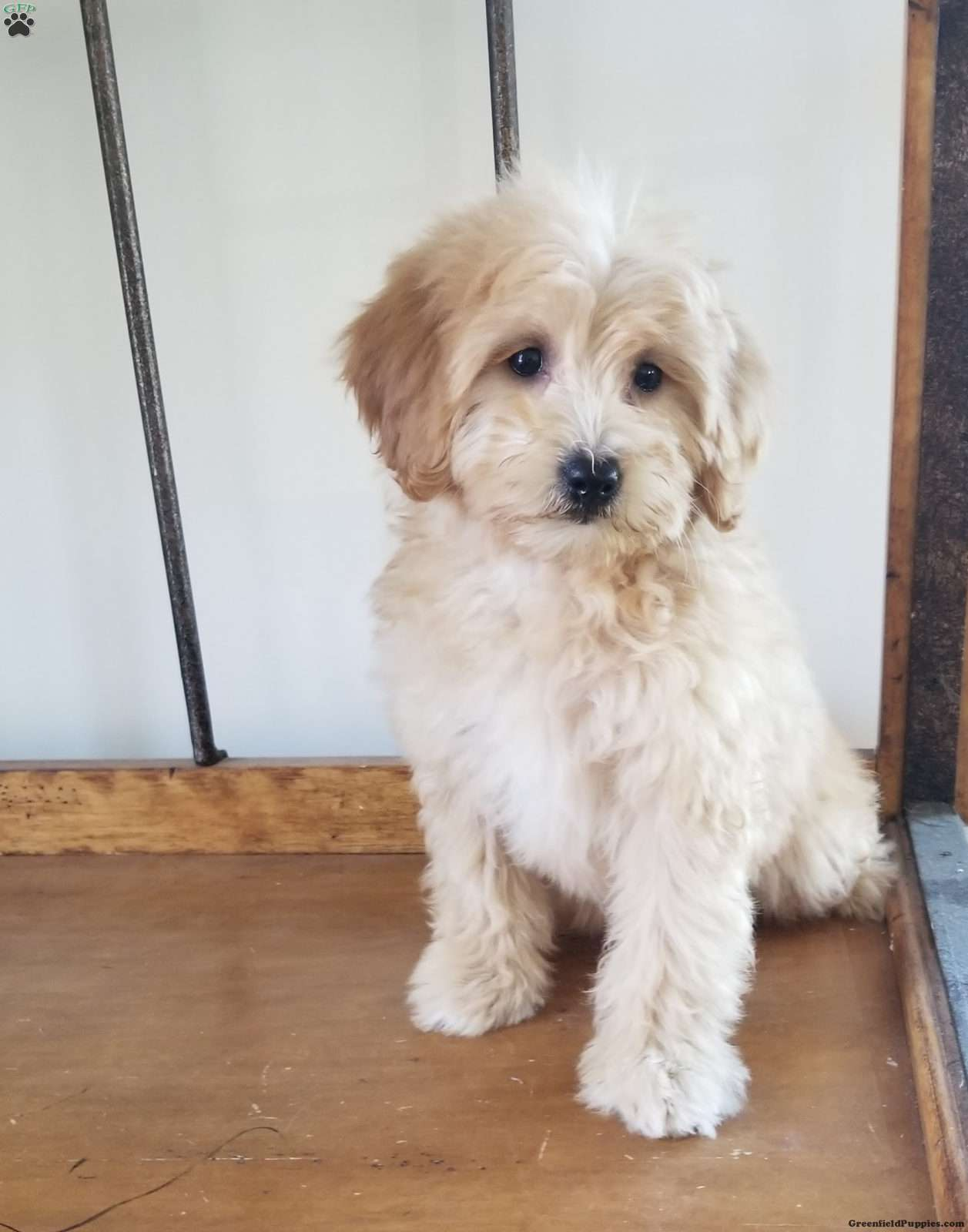 Belle Mini Golden Mountain Doodle Puppy For Sale In Virginia