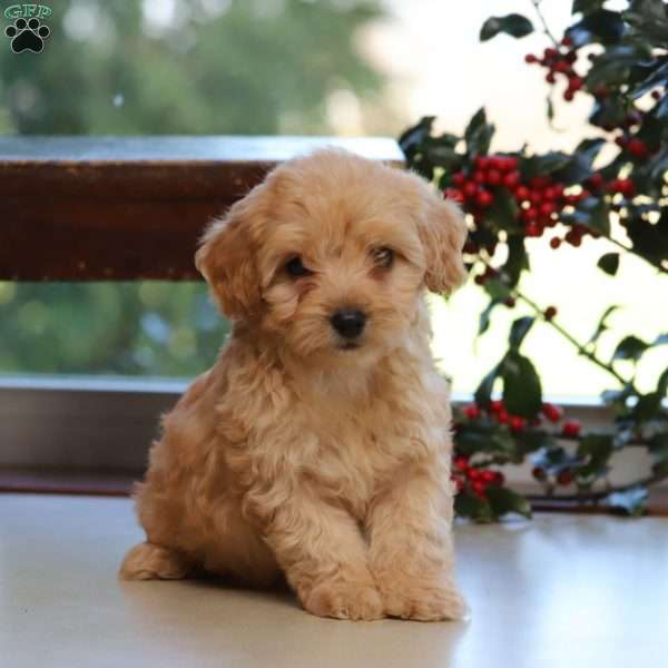 Havapoo Puppies For Sale Havapoo Dog Breed Profile