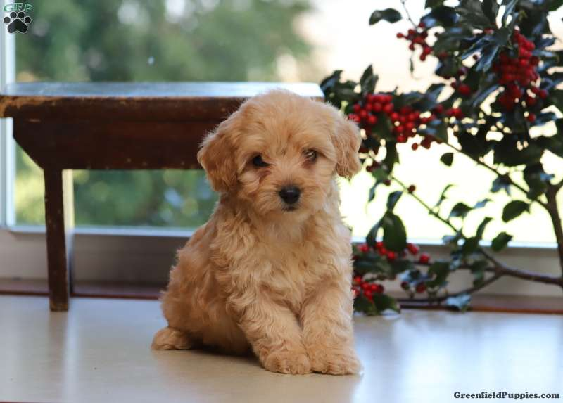 Havapoo Puppies For Sale Havapoo Dog Breed Profile Greenfield Puppies