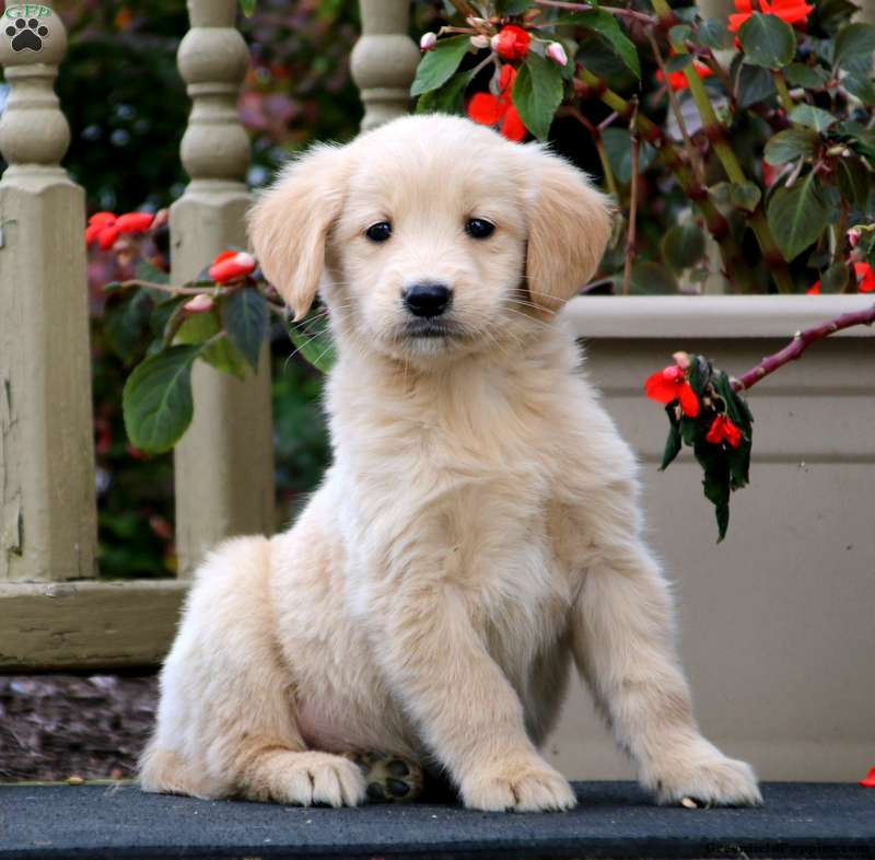 Golden Retriever Mix Puppies For
