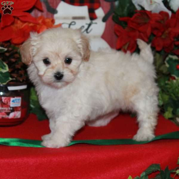 Lhasa Poo Puppies For Sale Breed Profile Greenfield Puppies