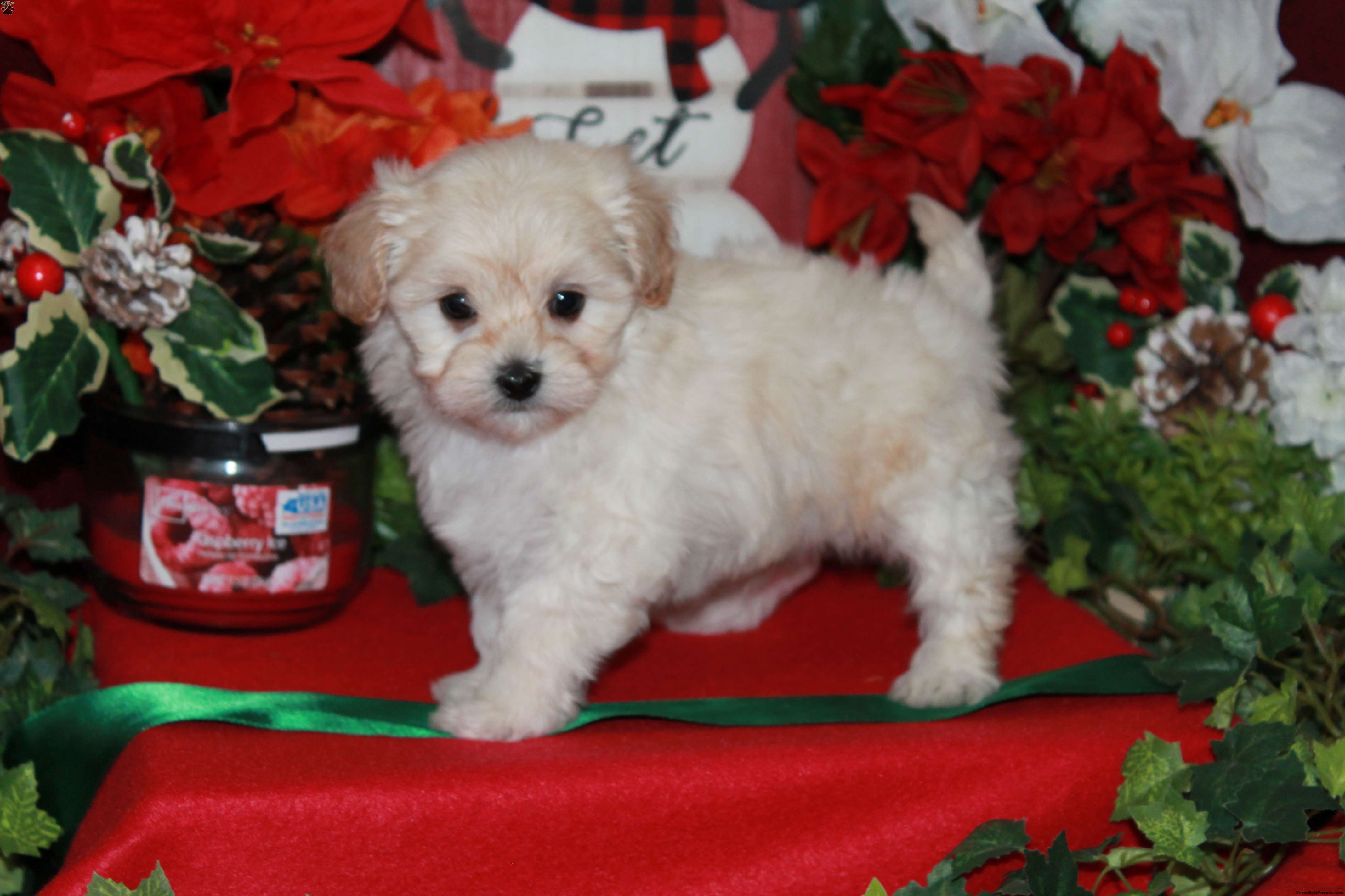 Lhasa Poo Puppies For Breed