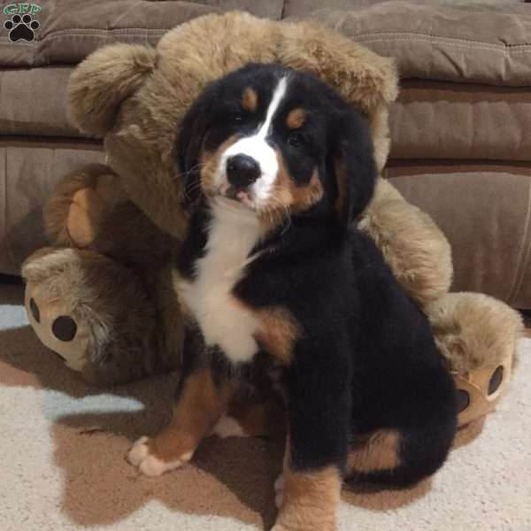 Buster Bernese Mountain Dog Puppy For Sale In Ohio