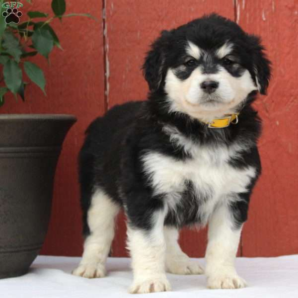 Alaskan Malamute Mix Puppies For