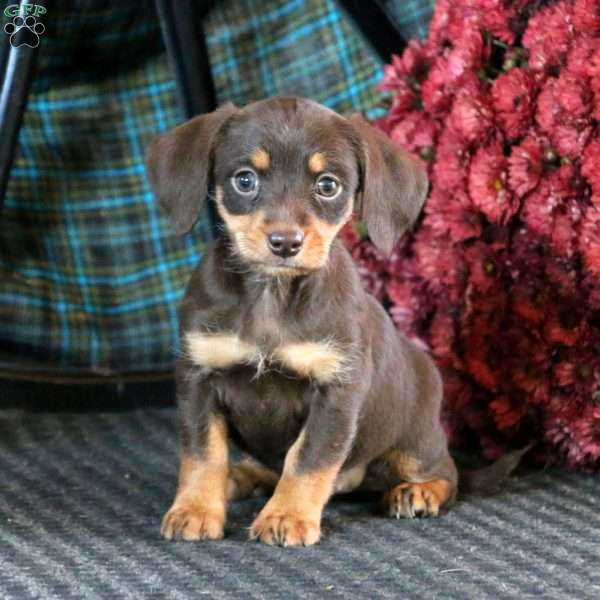 Dachshund Mix Puppies For Sale Dachshund Mix Breed Info