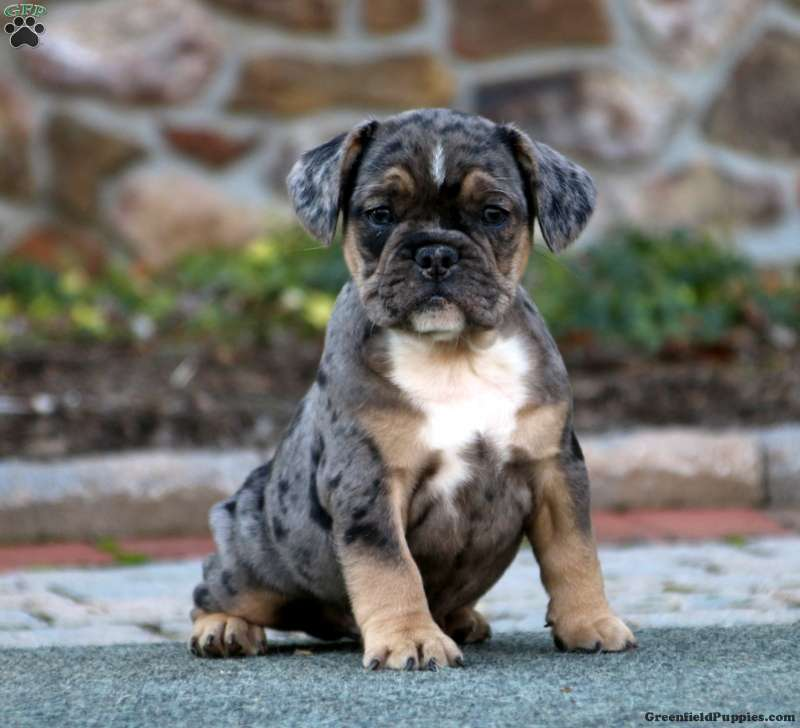 French Bulldog Mix Puppies For