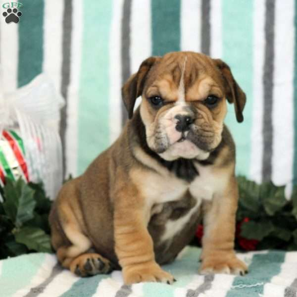 Beabull Puppies For Sale Beabull Breed Profile