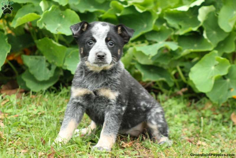 Blue Heeler Puppies For Sale Greenfield Puppies