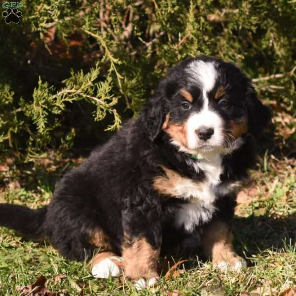 Diva Bernese Mountain Dog Puppy For Sale In Pennsylvania