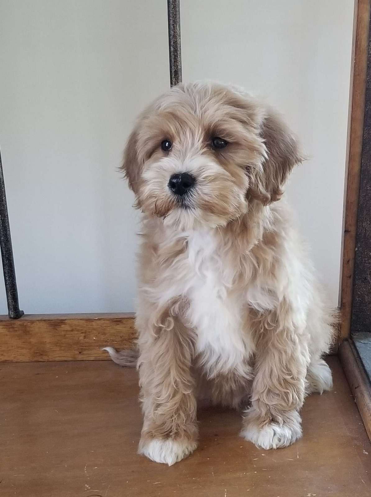 Faust Mini Golden Mountain Doodle Puppy For Sale In Virginia