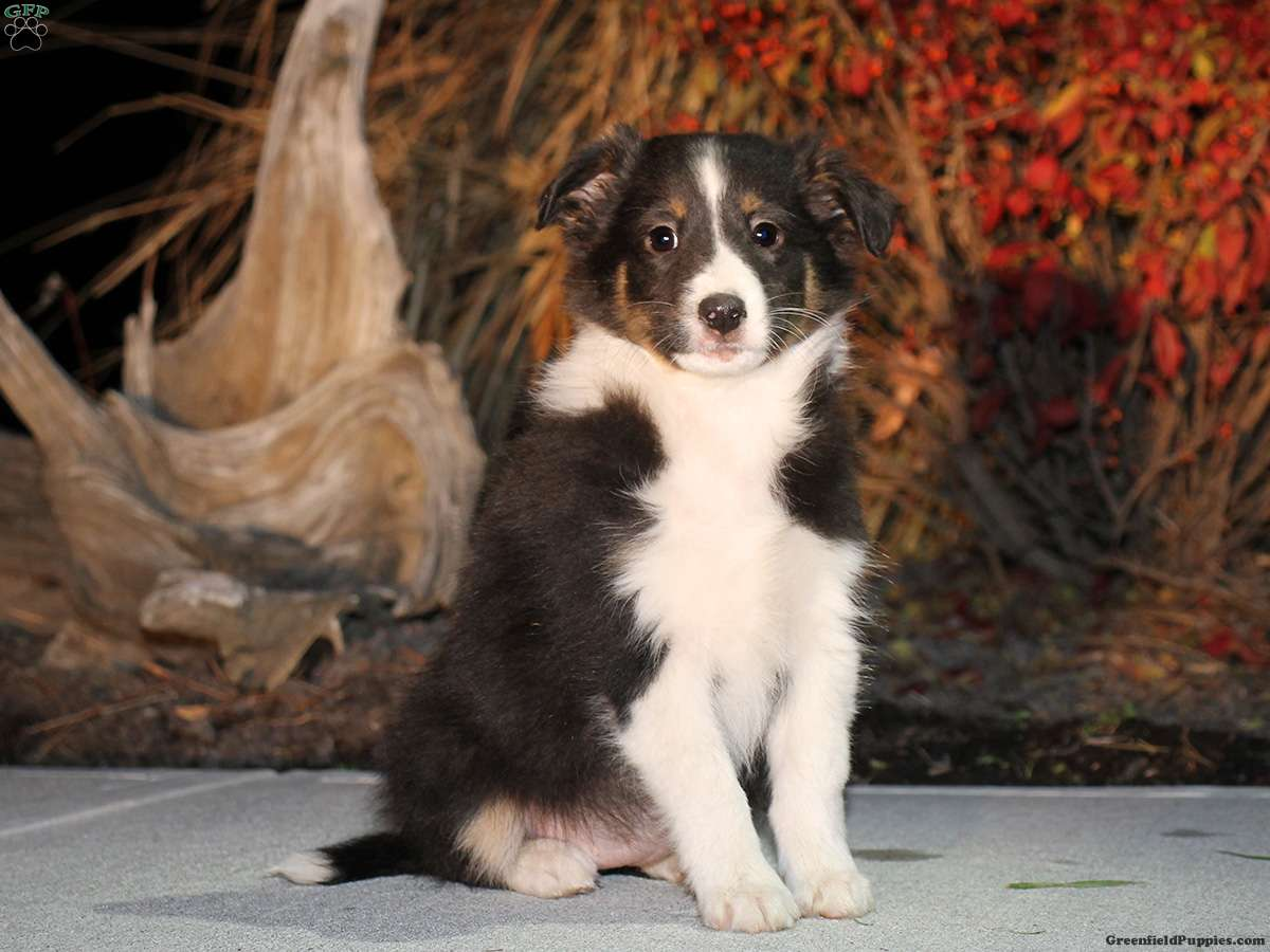 Gina Sheltie Mix Puppy For In