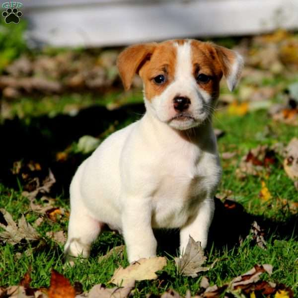 Jack Rus Mix Puppies For