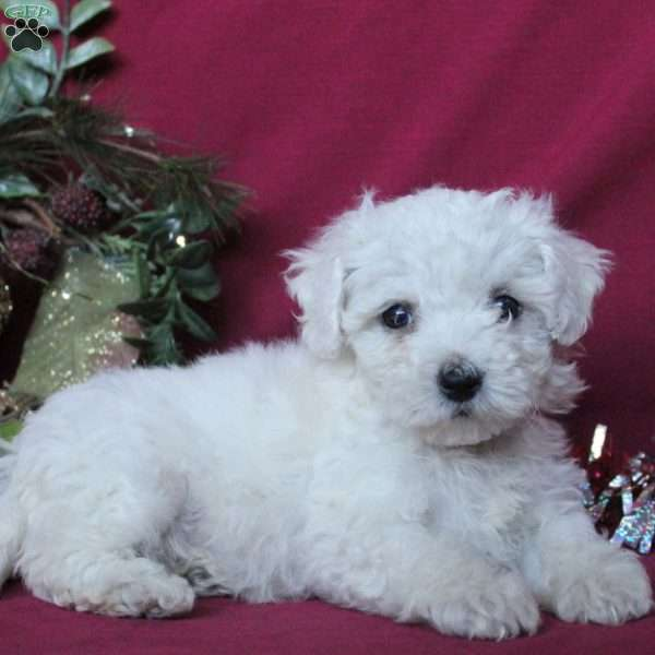 Holly, Bichon Frise Puppy