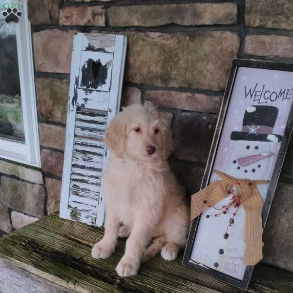 Ruby - Newfypoo Puppy For Sale in Ohio