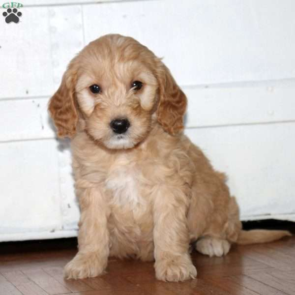 Jenelle Mini Goldendoodle Puppy For Sale In New Jersey