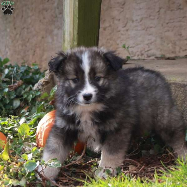 Kamree - Keeshond Mix Puppy For Sale in Pennsylvania
