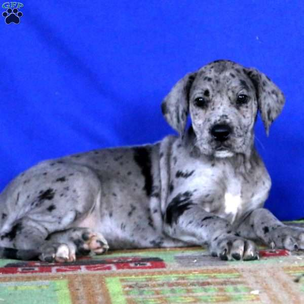 Kendi Great Dane Puppy For Sale In Pennsylvania
