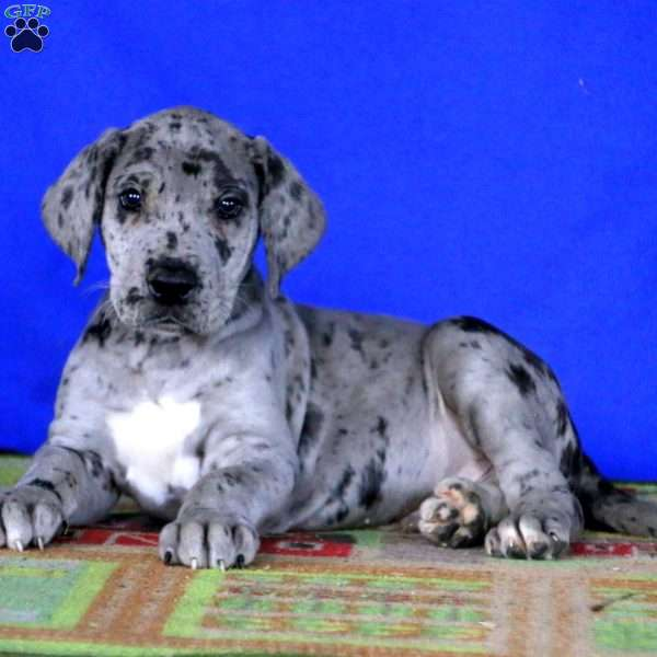 King Great Dane Puppy For Sale In Pennsylvania