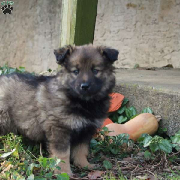 Kisses - Keeshond Mix Puppy For Sale in Pennsylvania