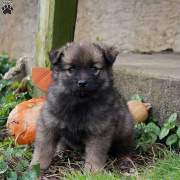Kourtney - Keeshond Mix Puppy For Sale in Pennsylvania