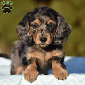 Dachshund Puppies For Sale Dachshund Dog Breed Info Greenfield Puppies