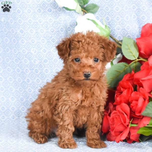 Lilly, Toy Poodle Puppy