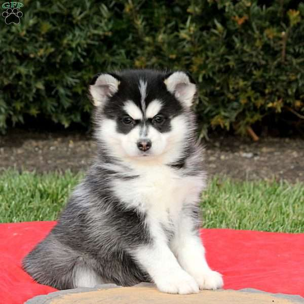 Pomsky Puppies For Sale Pomsky Breed Profile Greenfield Puppies