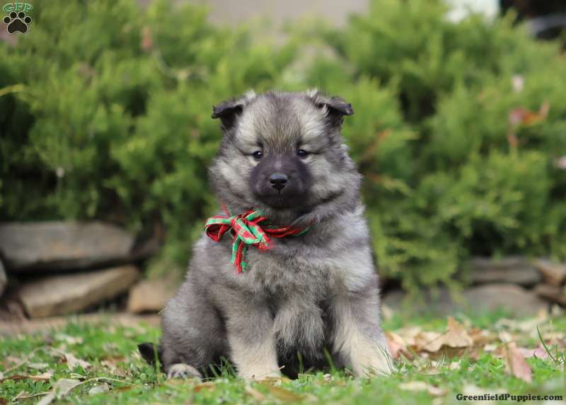Keeshond Puppies For Sale - Kees Puppies | Greenfield Puppies