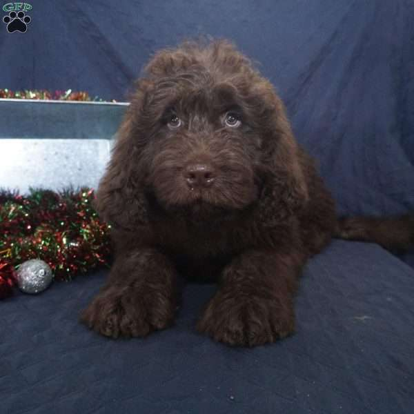 Murphy Newfypoo Puppy For Sale In Ohio