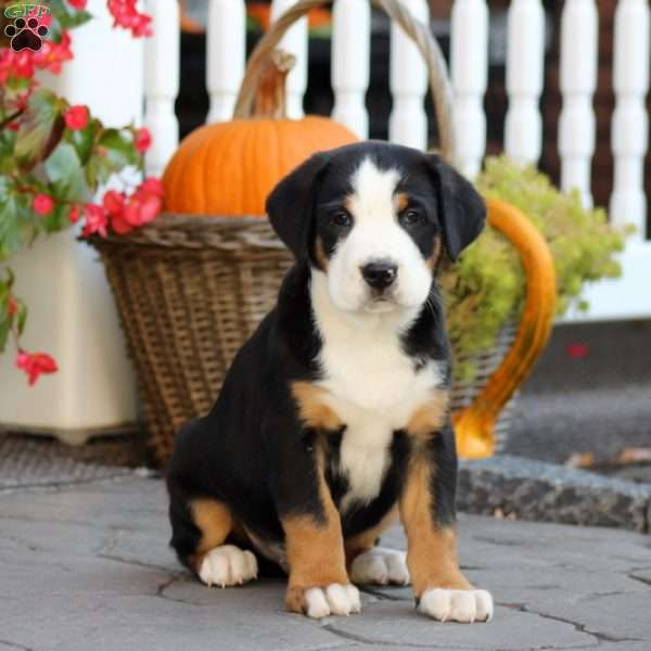 Oswald Greater Swiss Mountain Dog Puppy For Sale In