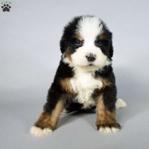 Paris Bernedoodle Puppy For Sale In Illinois