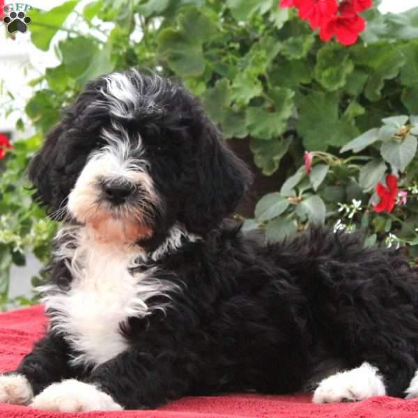 Puppies For Sale In Ohio Greenfield Puppies