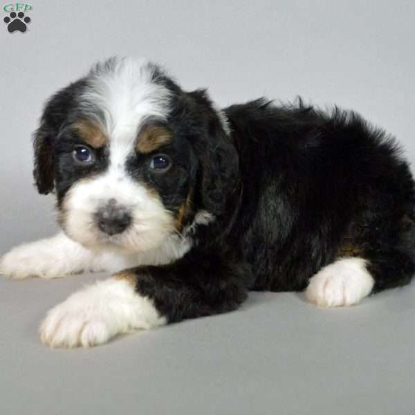 Rose Bernedoodle Puppy For Sale In Illinois