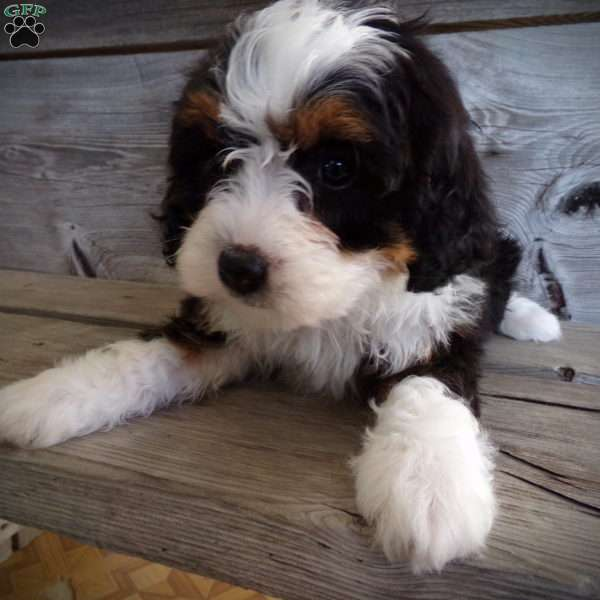 Roxy Mini Bernedoodle Puppy For Sale In Ohio