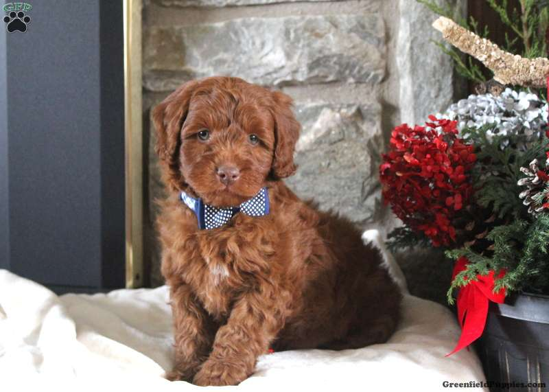 Royal F1b Mini Goldendoodle Puppy For Sale In Pennsylvania