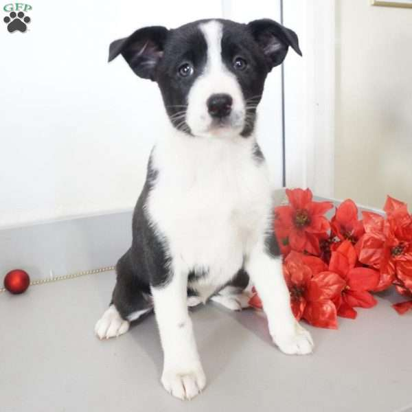 Ruby, Border Collie Puppy