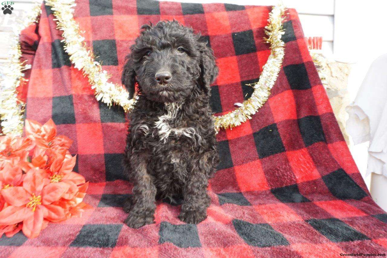 Samson F1b Bernedoodle Puppy For Sale In Ohio