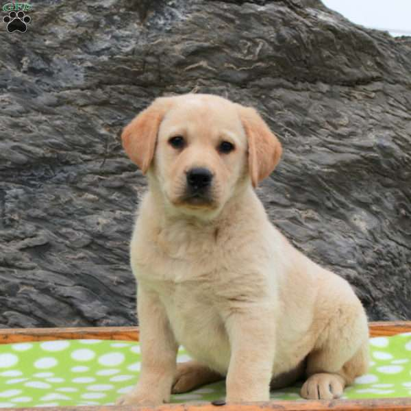 Labrador Mix Puppies For