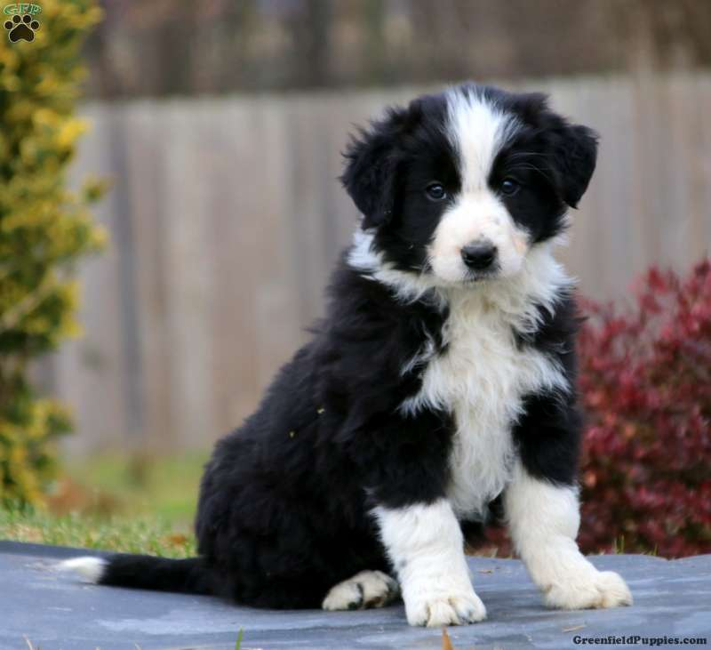 Border Collie Puppies For Sale Greenfield Puppies