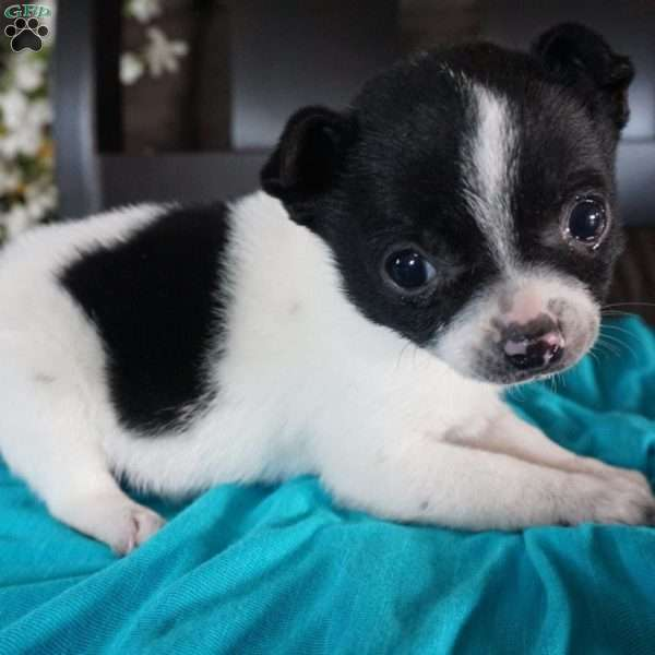 Teddy, Chihuahua Mix Puppy