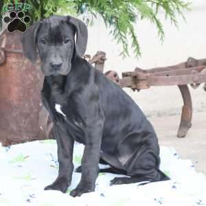 Great Dane Puppies For Sale Great Danes Greenfield Puppies
