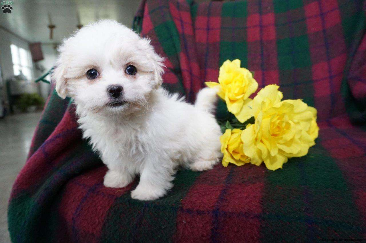 Tina Teddy Bear Puppy For Sale In Ohio