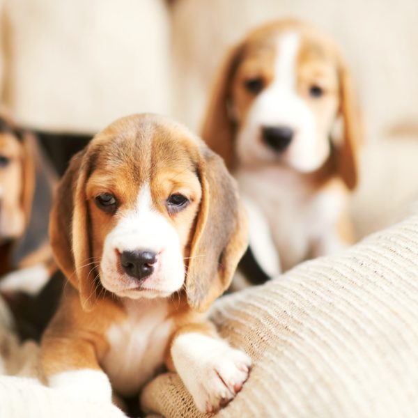 beagle puppies on a soft chair